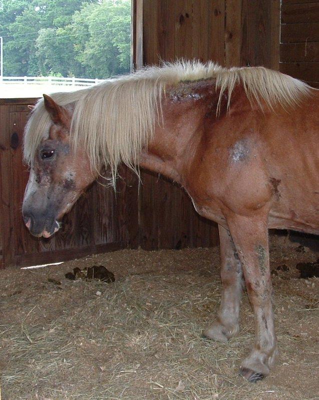 Laminitis  and Ponies