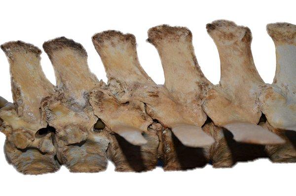 Fused equine vertebra