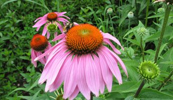zoopharmacognosyechinacea.jpg