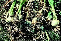 Garlic Natural Insect Repellent 2 Holistichorse Com