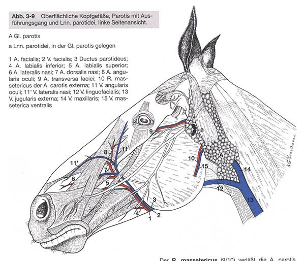 nerves in horse head