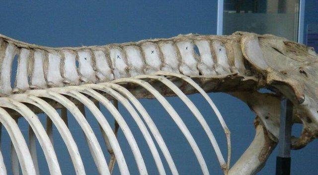 Skeleton Horse Hind