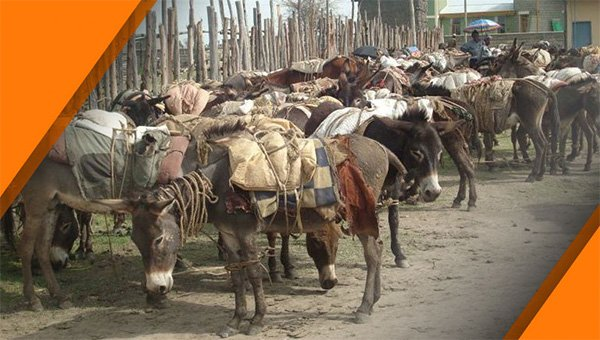 Donkey's of Ethiopia