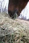 horseeatinghaycu.jpg
