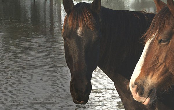 Two horses with water.jpg