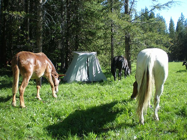 Horses grazing around a tent