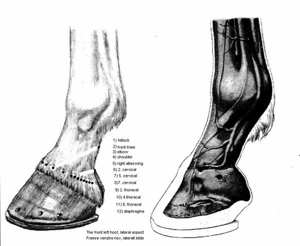 Ting points of the lower leg of horse