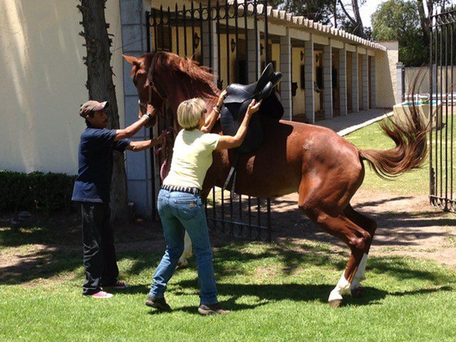 Schleese Photo courtesy Karen Loshbaugh - Horse reacting to being saddled.jpeg