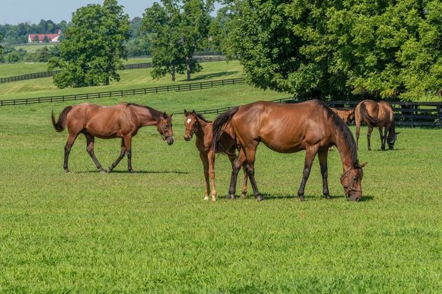 Horses graze on pasture at Mill Ridge Farm