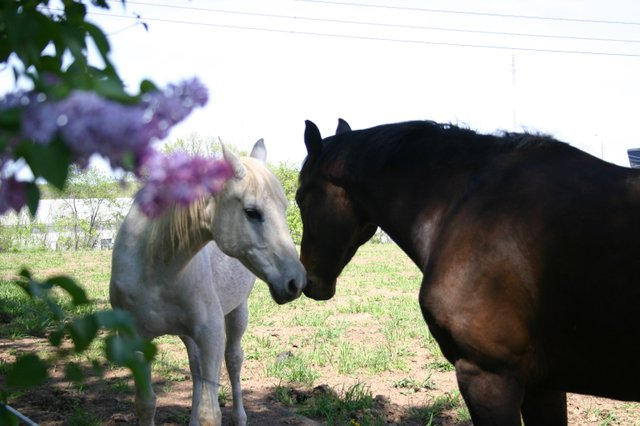 Horses sniffing each other