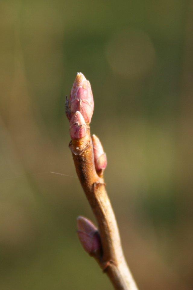 Ribes-nigrum-buds