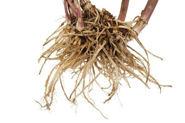 Valarian Root