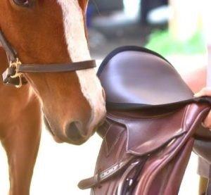 Horse sniffing saddle