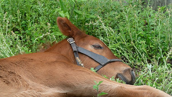 foal sleeping