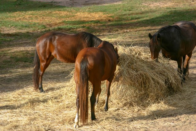 Horses on a round bale of hay