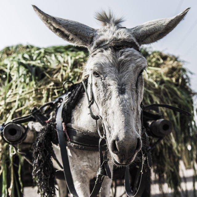 Donkey hauling heavy load