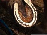 Copper1Hind at 4 weeks-JimGoede.JPG