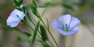 flax400.jpg