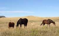 horsesgrazing.jpg