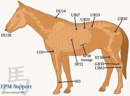Stomach 36- Overall a Great Acupuncture Point - HolisticHorse com