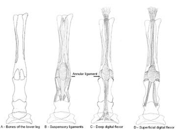 tendonligamentlowerlegs.jpg