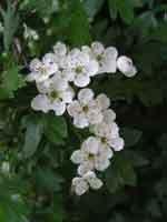 hawthornflower.jpg