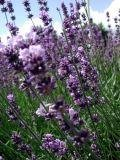 herb4_Lavender.JPG