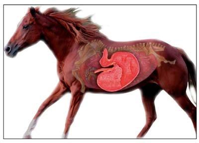 horsegut.jpg