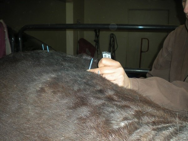 Acupuncture on a horses back