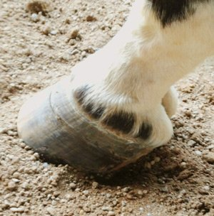 Hoof no shoe