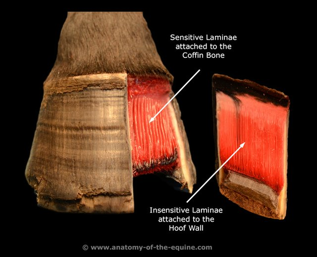 A Look Inside Laminitis Holistichorse