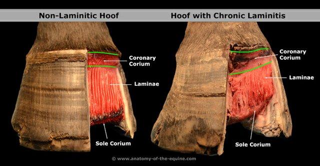 laminitis2+-Anatomy-of-the-Equine.jpg
