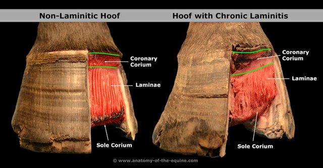 laminitis2+-Anatomy-of-the-Equine.jpg