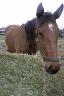 Horse with Hay